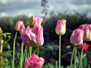 tulpen-omhelzing